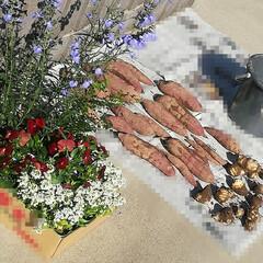 秋晴れ/サルビア/すみれ/アリッサム/里芋/さつまいも/... 知り合いの畑で芋掘りさせてもらってきまし…