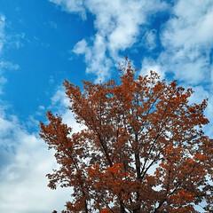 落ち葉の絨毯/紅葉/秋晴れ/秋 ようやく?木々が紅葉してきました😊🍁 青…