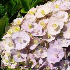 季節外れ/紫陽花 長雨のお陰?なのか、季節外れに咲いた我が…