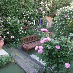ガーデニング/バラ/ローズガーデン/ガーデン 恋子の庭2017 メインのローズガーデン