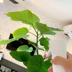 朝活/ミストスプレー/ウンベラータ/観葉植物のある暮らし/リビングインテリア/夏インテリア 今朝は時間があったので、観葉植物達に葉水…