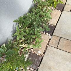 ローズマリー/リシマキア/アルデシアプシラ/ガーデニング/一戸建て/梅雨/... この季節は土に虫が群がる、、、とりあえず…