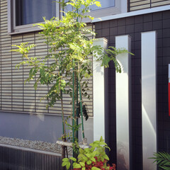 MISAWA/ミサワホーム/門柱/オタフクナンテン/シマトネリコ/エクステリア/... シマトネリコとオタフクナンテン