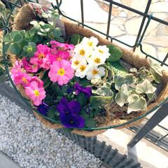 外構/ガーデニング/プリムラ/ハンギング/花/住まい 暖かくなり、どんどんお花が咲きます♡