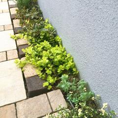 ガーデン/ガーデニング/グリーン/住まい/玄関/アルデシアプシア/... 暖かくなり青々と生い茂ってきました♡