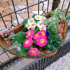 外構/ガーデニング/花/ハンギング プリムラのお花が次々に咲いてくれます。