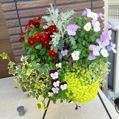 ハンギングリース/リース/ガーデニング/ビオラ/グリーン/インテリア お花が全種類咲き揃いました♡下のビオラは…(1枚目)