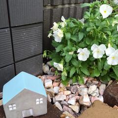 ビオラ/ガーデニング/梅雨/ニトリ/住まい/玄関/... 雨が上がった♪