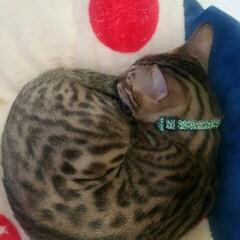 ねこ/ペット 別々に寝ているけど、丸まってる形は同じ。…