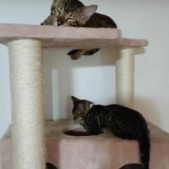 キャットタワー/bengalcat/Bengal/ベンガル猫/ベンガル/くるみ/... 上 エイト 下 くるみ