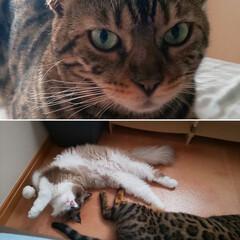 猫のいる暮らし/くるみとポンタ/ラグドール/ベンガル猫/猫 朝起きるとかわいい子がいました、落ちてい…