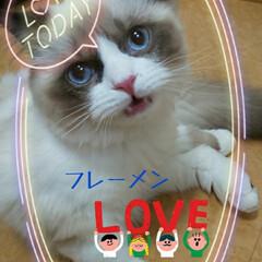 ネコ/ねこ/猫/フレーメン/子猫/ラグドール/... ぼくぅ、ポンちゃん🦝 おちりをキレキレし…