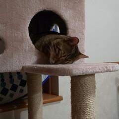 可愛い息子/Bengal/ベンガル猫/エイト/LIMIAペット同好会/ペット/... ①ママ、なに~? ②ぼく、ねむい😪💤💤 …(3枚目)