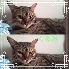 猫との暮らし/猫と暮らす/ベンガル/くるみ/かわいい娘 朝から早くに目覚めたら、隣にかわいい娘の…