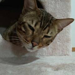 可愛い息子/Bengal/ベンガル猫/エイト/LIMIAペット同好会/ペット/... ①ママ、なに~? ②ぼく、ねむい😪💤💤 …