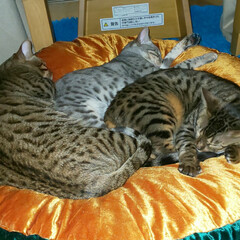 可愛い息子と娘/カイト/くるみ/エイト/Bengal/ベンガル猫/... 三匹で仲良しです。こたつで寝ています。珍…