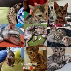 猫好き/猫バカ/猫のいる暮らし/猫と暮らす/ベンガル/カイト/... 昨日、エイトとくるみがうちの子記念日2周…(1枚目)