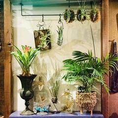 チランジア/植物のある暮らし/植物/わたしのお気に入り お気に入りの植物コーナーです❣️