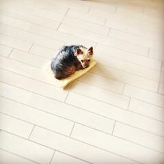 ペット/愛犬/ヨークシャーテリア 昨年10月に我が家にやって来た保護犬です…