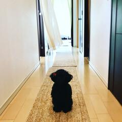 愛犬/ペット/トイプードル 3歳、2kgのトイプードルです。 こっち…