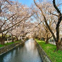 桜と川/桜開花 (1枚目)