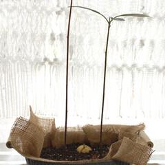 ガチャガチャ/アボカドの種/観葉植物 アボカド🥑ちゃんのその後です。 土に植え…