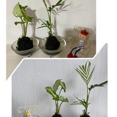 ナチュラルキッチン/テーブルヤシ/シンゴニウム/苔玉/ガーデニング ウチにお迎えして一週間で葉が開き、少し大…