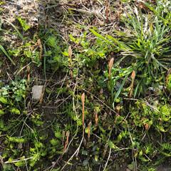散歩/草花/発見/自然 春が来た❓土筆がいっぱい…😊