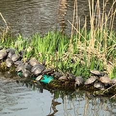 甲羅干し/亀/春/LIMIAペット同好会/LIMIAおでかけ部 公園の池の真ん中に亀🐢がたくさんいた。何…