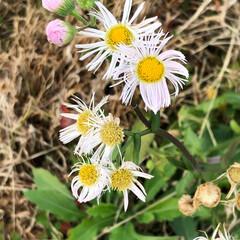 発見/散歩/草花/自然 白い花だと思ってたら、ピンクも混じってま…(2枚目)