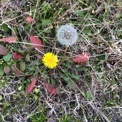 自然/草花/散歩/発見 ど根性タンポポ。茎は何処に❓