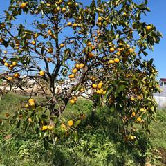 発見/自然/散歩/おでかけ 柿も色んできた。台風で落ちちゃうのかな❓