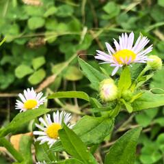 発見/散歩/草花/自然 白い花だと思ってたら、ピンクも混じってま…