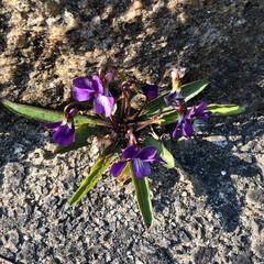 自然/草花/発見 会社のロータリーのすみっこにひっそり咲い…