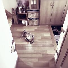 にゃんこ同好会/ペット/猫と暮らす/おもしろ猫 ☀️冷(ひや)り板間に 猫落ちる 残暑か…(1枚目)