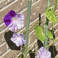 絞り咲き/朝顔/住まい/玄関/ガーデニング/おうち時間/... 母にもらった絞り咲き朝顔 まだ綺麗に咲い…(1枚目)