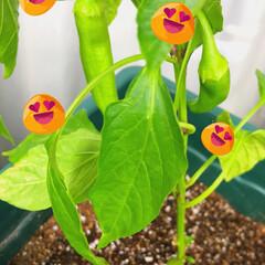 野菜/我が家/ベランダ/ピーマン/プランター/グルメ/... 畑ではないけど…ベランダでピーマンが成長…