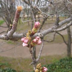 春の一枚 近所の公園の桜🌸 来週には満開かな💡