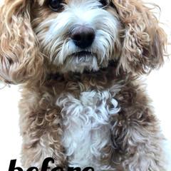 別犬ではない🐶/切りすぎ😭/HERO🐶くん/ペット/犬 今年の夏2ヶ月間🇯🇵日本に帰国して戻ると…(2枚目)
