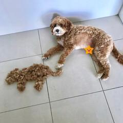 Home Salon🐶/HERO🐶くん/ペット/犬  『 刈った毛と記念にパチリ📷✨ 』  …(2枚目)
