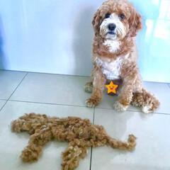 Home Salon🐶/HERO🐶くん/ペット/犬  『 刈った毛と記念にパチリ📷✨ 』  …(1枚目)