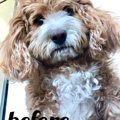 別犬ではない🐶/切りすぎ😭/HERO🐶くん/ペット/犬 今年の夏2ヶ月間🇯🇵日本に帰国して戻ると…(1枚目)