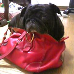 ブサかわ/パグ/ペット/犬/掃除/うちの子自慢 お気に入り鞄に入られてました(・Д・) (1枚目)