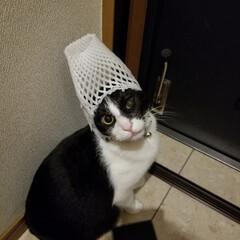 被り物/ペット/猫 スーちゃんは、被り物が嫌いみたいで玄関ま…