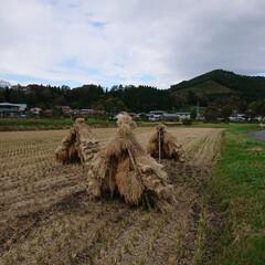 稲架/稲刈り/秋の収穫/秋 わずかに残る「ニオ」、日の光を無駄なく取…