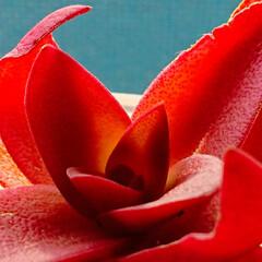 紅葉/多肉植物/火祭り/春待ち/冬越し/クラッスラ/... 不動だった火祭り、成長点から新しい葉がお…