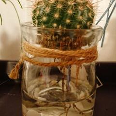 水栽培/サボテン 水栽培16日目、根の成長のばらつきについ…