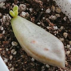 葉挿し/多肉植物/グラプトペタルム 1週間で驚くばかりの生長を遂げたブロンズ…(2枚目)