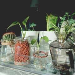 オリヅルラン/水栽培/ハイドロカルチャー/キャンドゥ/ポトス/観葉植物 新葉が出てきたポトスと吸水激しいオリヅル…
