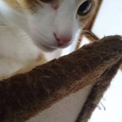 アーモンドアイ/茶白/ペット/猫/保護猫/茶白猫 マロンの目はアーモンドアイ😊💕💕